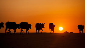 Cows on sand dunes in Vietnam. A herd of cows wandering through the sand dunes in Vietnam Stock Photography