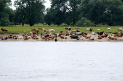 Cows on the sandbank Royalty Free Stock Photography