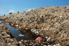 Cows scavenge amid garbage, household trash, plastic and toxic industrial waste next to contaminated water at a polluted landfill. BALI, INDONESIA - APRIL 30 Royalty Free Stock Photography
