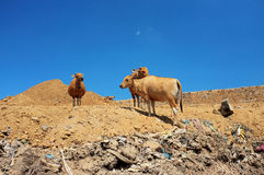 Cows scavenge amid plastic bags, toxic household trash and hazardous industrial waste on contaminated landfill site Royalty Free Stock Images