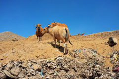 Cows scavenge on garbage and industrial waste at a landfill site in Bali Royalty Free Stock Image