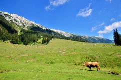 Cows. In a scenic summer field in Piatra Craiului mountains Royalty Free Stock Photo