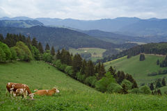 Cows in Schwarzwald. Cows laying on grass in Schwarzwald, Germany stock images