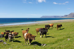 Cows By The Sea Stock Photo