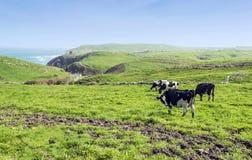 Cows with sea Stock Photos