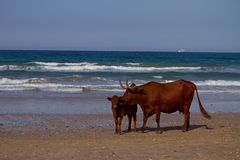 Cows on sea coast Royalty Free Stock Image
