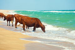 Cows by the sea Royalty Free Stock Photo