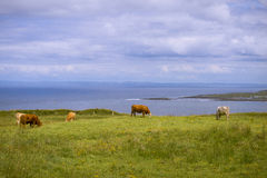 Cows by seaside Royalty Free Stock Images
