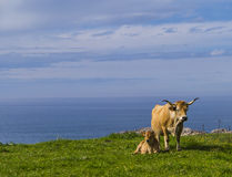 Cows at seaside Stock Images