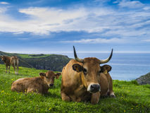 Cows at seaside Royalty Free Stock Images