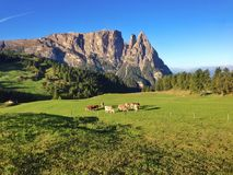 Cows at Seiser Alm Stock Images