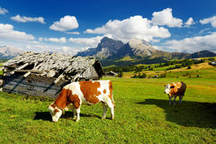 Cows in Seiser Alm, the largest high altitude Alpine meadow in Europe, stunning rocky mountains on the background. South Tyrol pro. Vince of Italy, Dolomites stock image