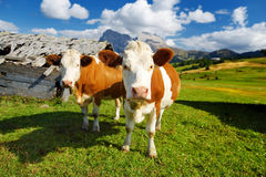 Cows in Seiser Alm, the largest high altitude Alpine meadow in Europe, stunning rocky mountains on the background. South Tyrol pro. Vince of Italy, Dolomites royalty free stock photos