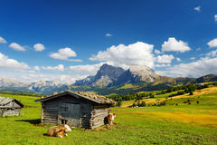 Cows in Seiser Alm, the largest high altitude Alpine meadow in Europe, stunning rocky mountains on the background. South Tyrol pro. Vince of Italy, Dolomites stock photos