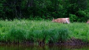 Cows on a self-grazing in the forest near the river. Cattle, grass, greens, water. Livestock and breeding. Handheld shooting. Came stock footage