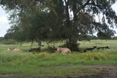 Cows setting under tree Royalty Free Stock Photos