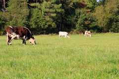 Cows. Several cows of france grazing Royalty Free Stock Image