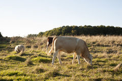 Cows and sheep. Calm animals eating grass and enyoing their life Stock Images