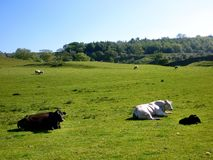 Cows and sheep in field Stock Images