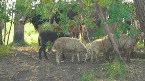 Cows and sheep on hot day in the shade of trees stock footage