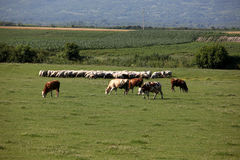 Cows and sheep in pasture. Cows and sheep grazing in the pasture at farm Royalty Free Stock Image