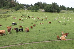 Cows and sheeps. Cows and sheep on a pasture Royalty Free Stock Photo
