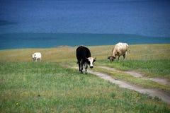 Cows on the shore of Baikal Lake Stock Photo