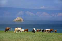 Cows on the shore of Baikal Lake Stock Image