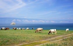 Cows on the shore of Baikal Lake Stock Image
