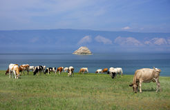 Cows on the shore of Baikal Lake Royalty Free Stock Photos