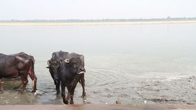 Cows at shore of Ganges river in Varanasi. stock video footage