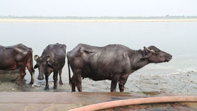 Cows at shore of Ganges river in Varanasi. stock footage