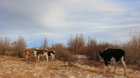 Cows on the shore of Lake Baikal on a sunny winter day in December Royalty Free Stock Photos