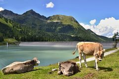 Cows at a shore of a mountain lake. Cows on grass at a shore of a mountain lake. Sunny weather, dam wall, mountains and blue sky with some white clouds in the stock image