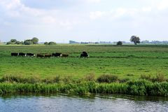 Cows, Single File, In Riverside Meadow Royalty Free Stock Images