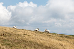 Cows and sky. A group of cows on a mountain peak, beneath a deep sky with big clouds Stock Image
