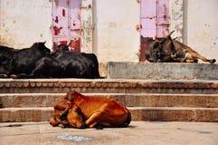 Cows sleep in the sun in Varanasi, India. Cows sleep in the hot sun in Varanasi, India stock photography