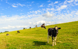 Cows on the slope of a Dutch dike in summertime Stock Photo