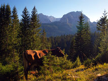 Cows on the slopes of Durmitor near Zabljak Royalty Free Stock Image