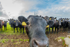 Cows sniffing each other. In the herd of a farm of Scotland in UK Royalty Free Stock Photo