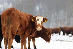 Cows and snow Stock Photography