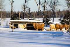 Cows in a snow covered pasture. Cows by a wood shelter in a snow covered pasture in front of a forest of trees Stock Photography