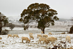 Cows in the snow on the farm Royalty Free Stock Image