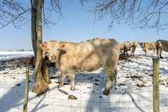Cows in the Snow Stock Photography