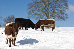 Cows in snowy field Royalty Free Stock Images