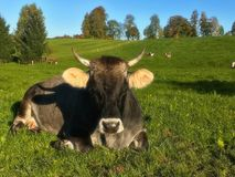 German beautiful cow on the field royalty free stock photography