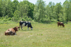 Cows. Some Cows on a pasture Royalty Free Stock Photo