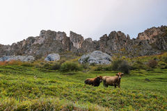 Cows in Somiedo natural park in Asturias, spain Stock Photo