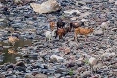 Cows in Somoto canyon, Nicarag. Ua royalty free stock photos