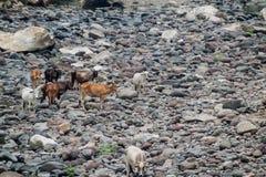 Cows in Somoto canyon, Nicarag. Ua stock photo